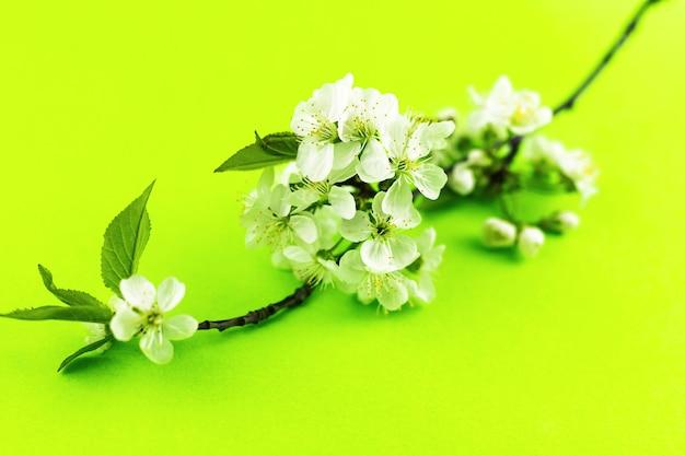 明るい黄緑色の紙の背景に開花する白いリンゴの木の花の枝