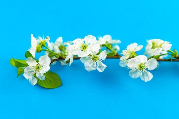 明るい青い紙の背景に開花する白い春のリンゴの木の花の枝