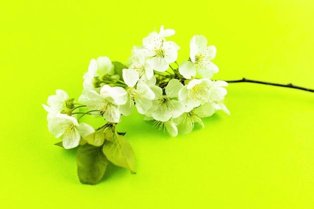 明るい黄緑色の紙の背景に開花する白い春のリンゴの木の花の枝