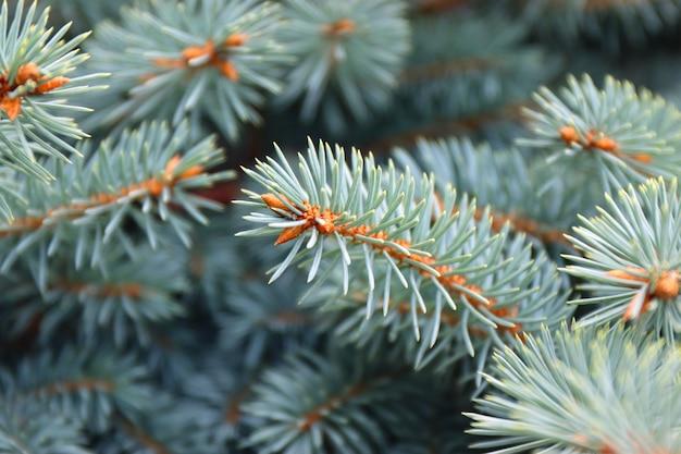 Ветви голубой или колючей ели заделывают на открытом воздухе.
