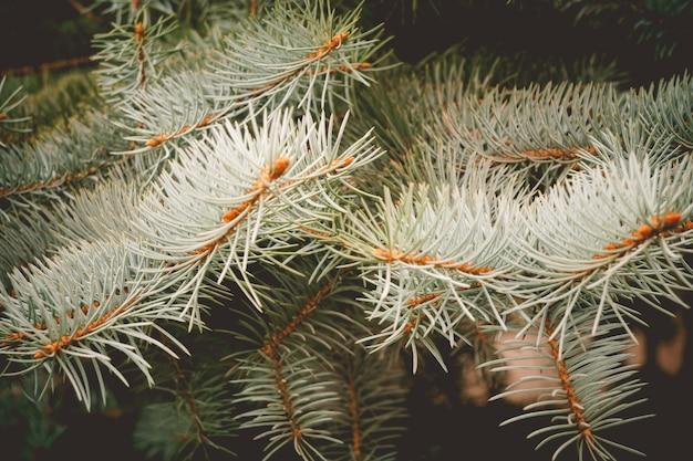ブルースプルースレトロの枝