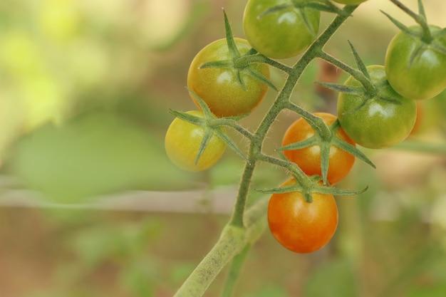 Ветви помидоров черри