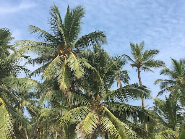 푸른 하늘 아래 코코넛 야자수의 가지