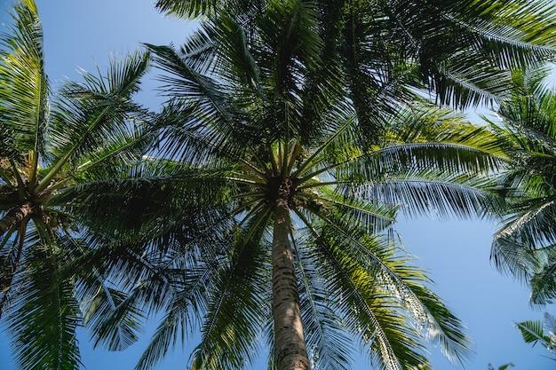푸른 하늘 아래 코코넛 야자수의 가지입니다.