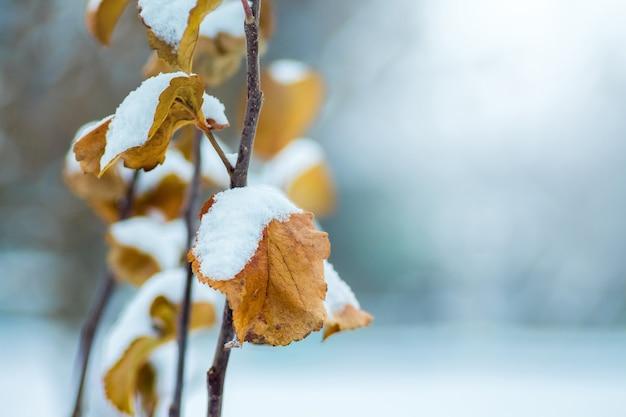 冬の日に雪で覆われた乾燥した葉を持つスグリの枝_