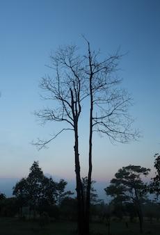 황혼에 죽은 나무의 가지