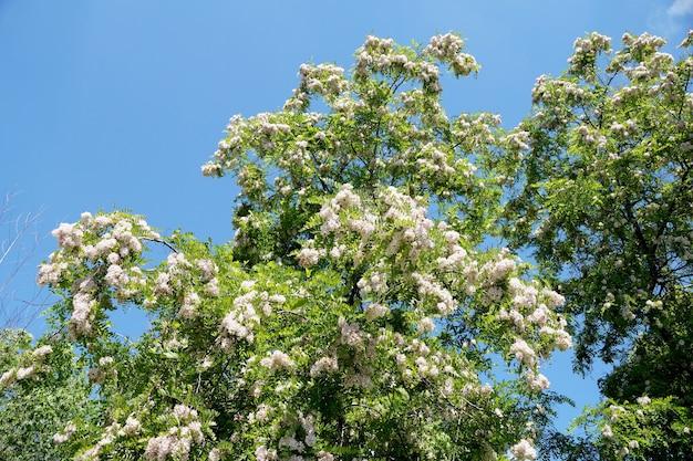 都市の条件で密に開花するアカシアの枝