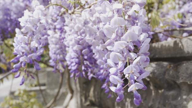 Ветки душистой сирени колышутся на ветру. с каменной ограды свисают сиреневые цветы. теплый весенний день. крупный план, 4k uhd.