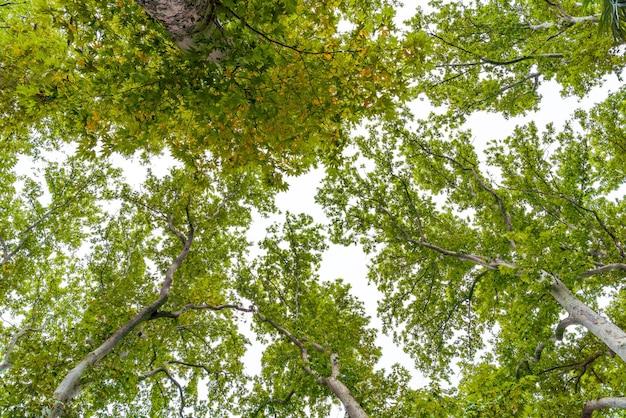 Ветви зеленых платанов против неба.
