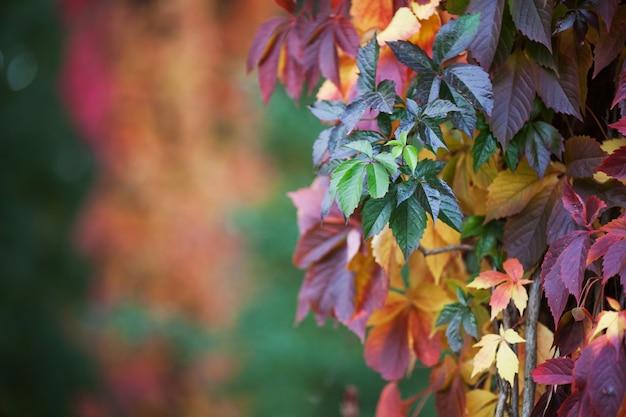 秋の乙女ブドウの枝。女の子らしいブドウの多色の紅葉。