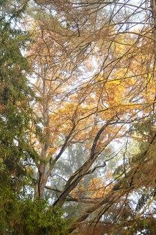 Ветки дуба с желтой листвой в осеннем парке или лесу, природа в октябрьское туманное утро
