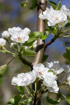 화창한 날 하늘을 배경으로 꽃, 꽃봉오리, 잎이 있는 배의 가지. 선택적 초점.