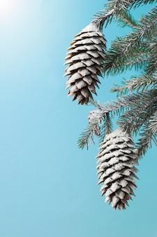 太陽の下で雪の中でトウヒの枝。