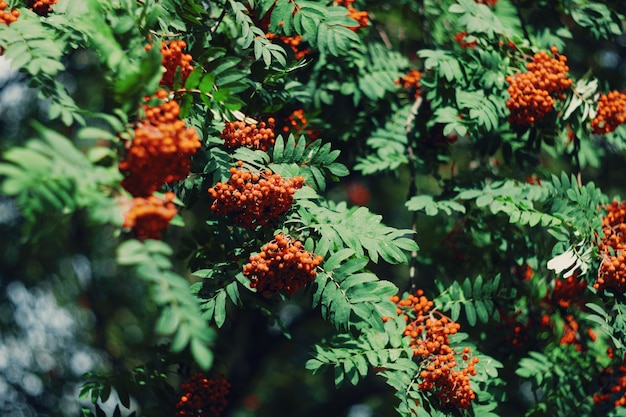 赤いベリーと山の灰の木の枝。高品質の写真