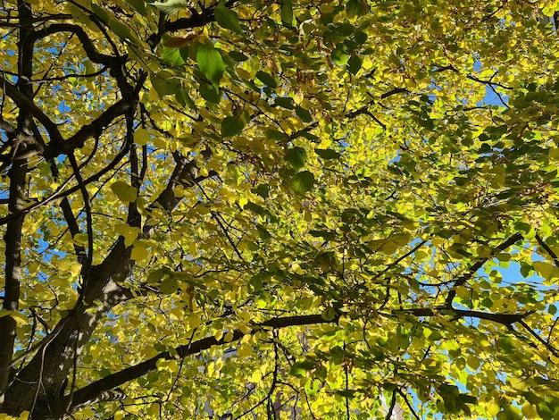 푸른 하늘 배경에 노란색 단풍과 나무의 가지