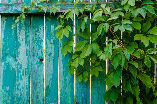 天然木の柵のぼろぼろの板に葉を持つ野生ブドウの枝