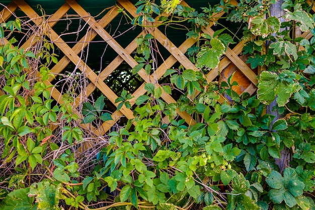 庭の望楼の木のトレリスに葉を持つ野生ブドウの枝