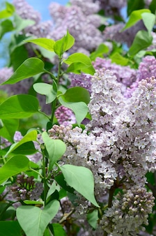 Branches of purple lilac and green leaves. blooming branch of lilac