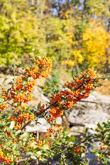 Branches of pyracantha with orange berries