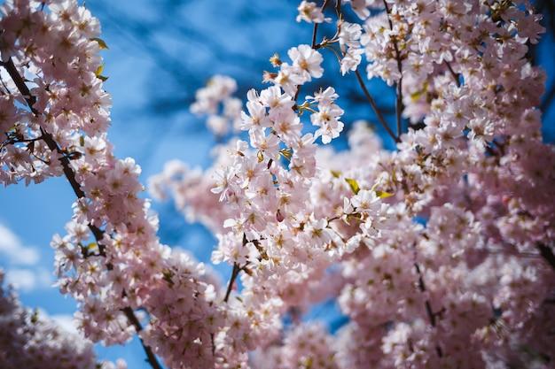 街の通りの木に花が咲く桜の枝。白とピンクがかった花の春の花を持つ木。背景の春の桜の枝や咲く木。