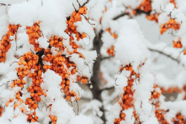 Branches of sea buckthorn with berries, covered with snow