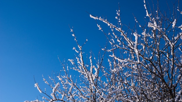 Branches in the snow against the blue sky.