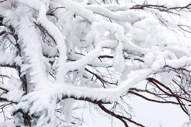 Branches of a snow-covered, icy tree in cloudy weather.