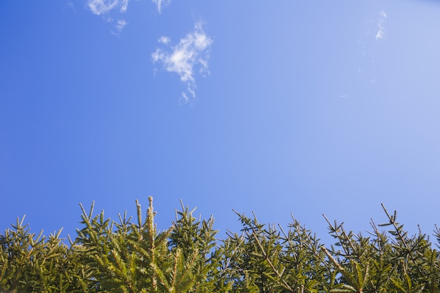 The branches of spruce against the blue sky.