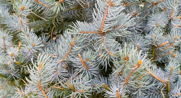 Branches of spruce - natural background. christmas holiday.