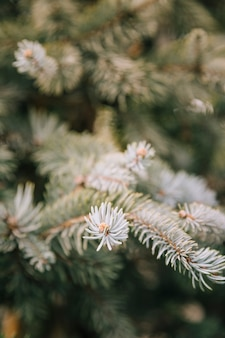 Branches of spruce tree close-up background