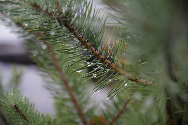 Branches of a spruce tree with dewdrops on the leaves