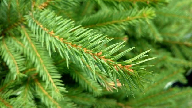 Branches of spruce tree
