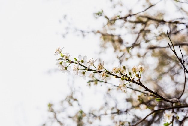 Branches of tree in bloom in spring with cloudy sky background.