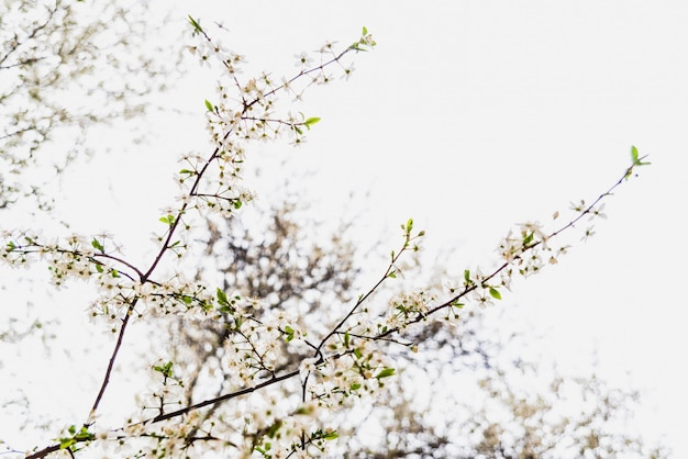 Branches of tree in bloom in spring with cloudy sky