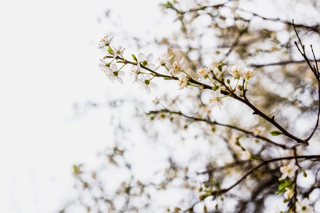 Branches of tree in bloom in spring with cloudy sky.