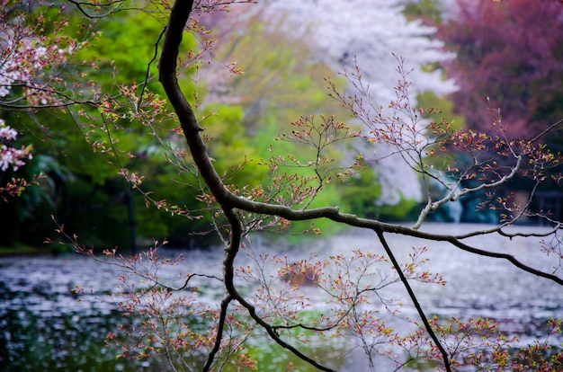Branches of tree on blurry lake and spring forest background in japan.