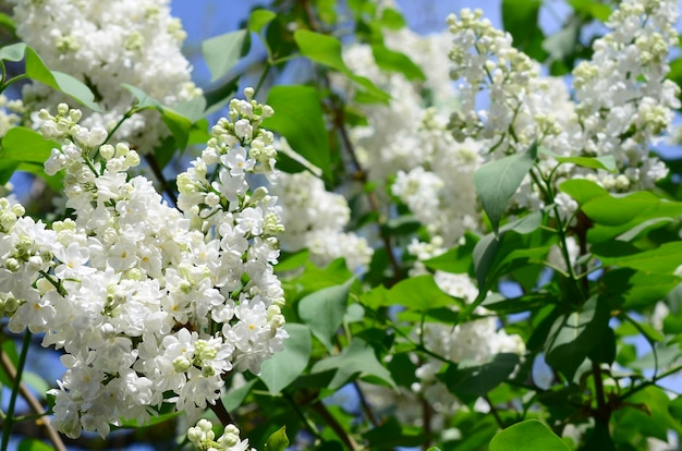Branches of white lilac and green leaves. blooming branch of lilac