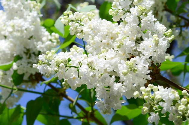 Branches of white lilac and green leaves.