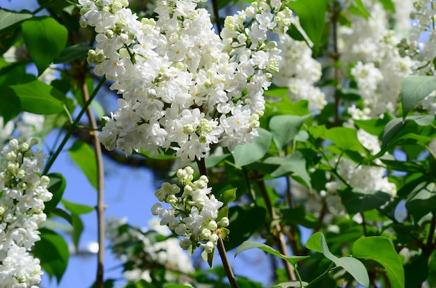 Branches of white lilac and green leaves