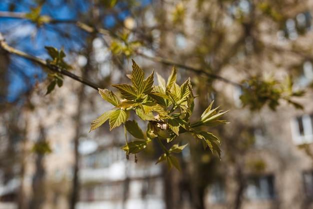街の通りの木に花が咲く枝。白とピンクがかった花の春の花を持つ木。背景の春の桜の枝や咲く木。