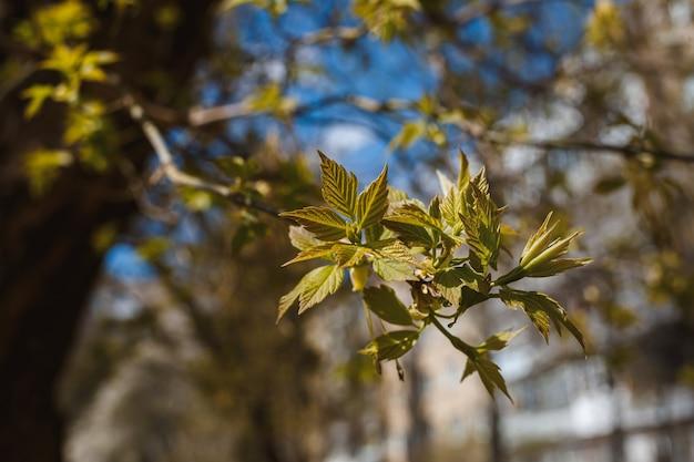 Ветки с цветами на дереве на улицах города. дерево с цветами весной в белом и розоватом цветении. вишневые ветви или цветущее дерево в весеннее время для фона.
