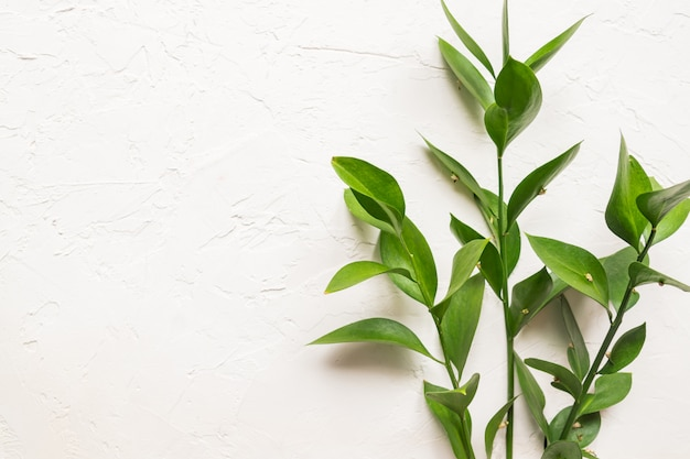 Branches with fresh green ruscus leaves on white concrete textured background