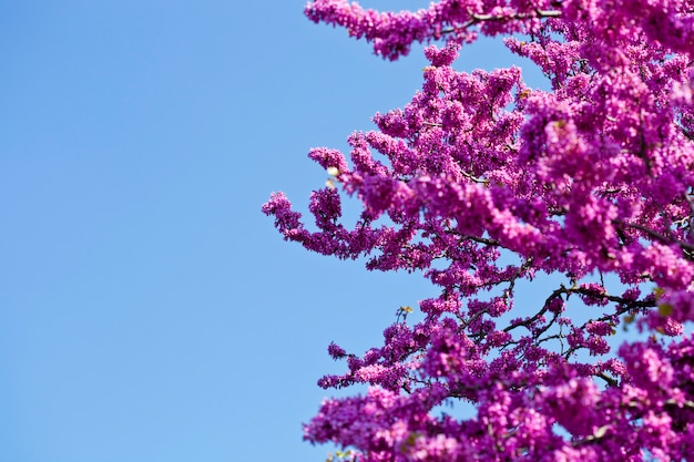 Branches with fresh pink flowers in the morning sunlight against the blue sky.