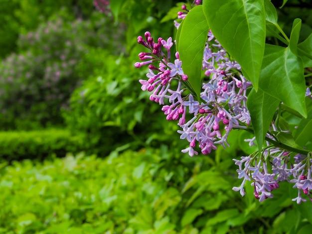 Ветки с соцветиями цветущей сирени в саду днем весной.