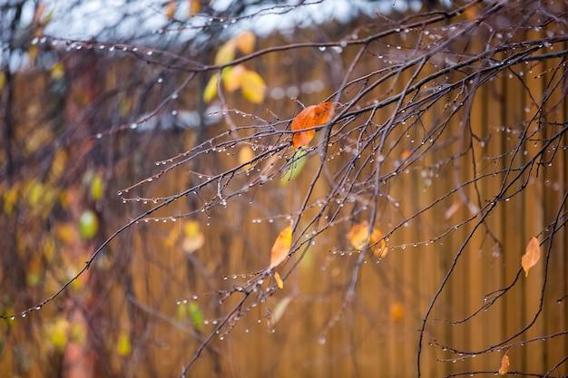 晩秋の雨滴のある枝
