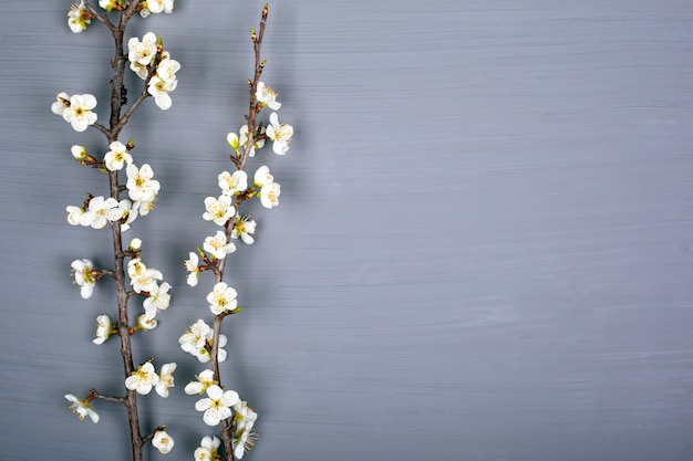 Branches with white flowers of cherry on a gray background, copy space, top view.