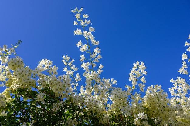 Ветви с белыми цветами на фоне голубого неба копируют пространство горизонтальной ориентации