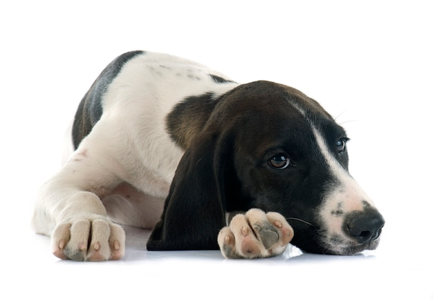 子犬のbraque d'auvergne