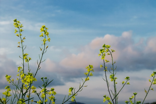 Brassica napus with blue sky and white cloud