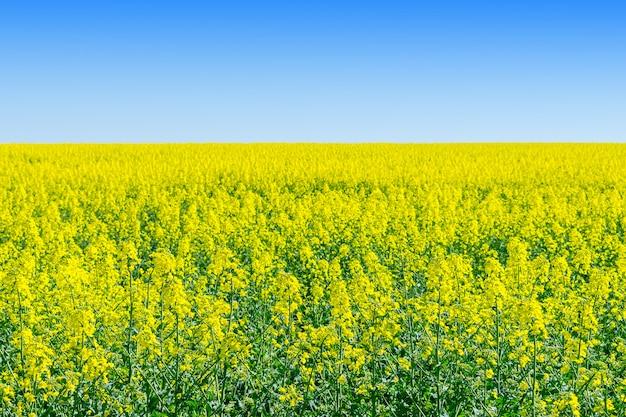 Рапс (brassica napus), рапс, поле из рапса